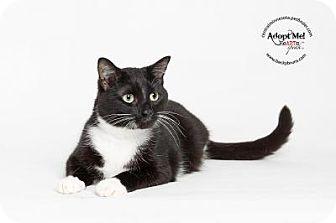 Domestic Shorthair Cat for adoption in Sauk Rapids, Minnesota - Ralph