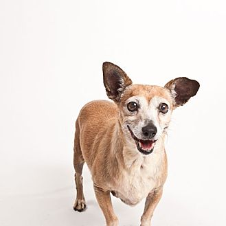 Chihuahua Mix Dog for adoption in Monrovia, California - Ruth