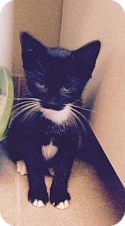 Domestic Shorthair Kitten for adoption in Tampa, Florida - Alice June