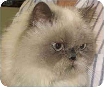 Himalayan Cat for adoption in Thousand Oaks, California - Tessa