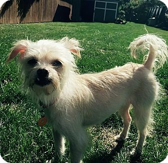 Chinese Crested/Terrier (Unknown Type, Medium) Mix Dog for adoption in Mentor, Ohio - NELLY