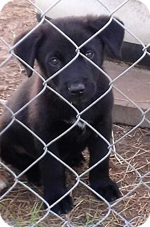 Labrador Retriever/Border Collie Mix Puppy for adoption in Waller, Texas - Tyson