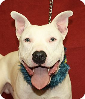 Bull Terrier Mix Dog for adoption in Jackson, Michigan - Jimmy
