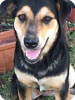 Shepherd (Unknown Type)/German Shepherd Dog Mix Dog for adoption in Vancouver, British Columbia - Dana