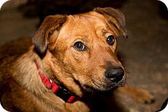 Mountain Cur Mix Dog for adoption in Broadway, New Jersey - Angel
