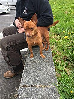 Chihuahua Mix Dog for adoption in Covington, Washington - Miles