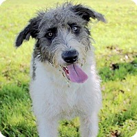 Schnauzer (Standard)/Poodle (Standard) Mix Dog for adoption in Ann Arbor, Michigan - A - LUCIE