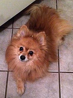 Pomeranian Mix Dog for adoption in Toronto, Ontario - Rocky 3256