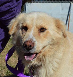 Golden Retriever Mix Dog for adoption in Asheville, North Carolina - Rascal (Courtesy)