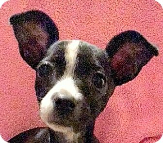 Boston Terrier/Dachshund Mix Puppy for adoption in Oakley, California - Baby Prince (Charming)