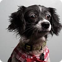Adopt A Pet :: Spangles - San Dimas, CA