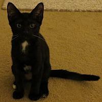 Adopt A Pet :: Princess Kate, visit me at West Shore Petco - Harrisburg, PA