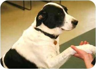 Border Collie/Labrador Retriever Mix Dog for adoption in Walker, Michigan - Buska