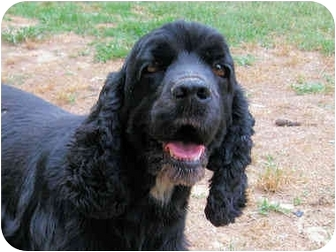 Cocker Spaniel Dog for adoption in Mahwah, New Jersey - Libby