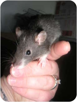 Rat for adoption in Cincinnati, Ohio - Murtle