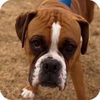 Boxer Dog for adoption in Denver, Colorado - Lyla