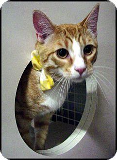 Domestic Shorthair Cat for adoption in Chesapeake, Virginia - Frankie