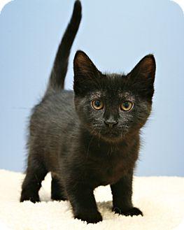 Domestic Shorthair Kitten for adoption in Bellingham, Washington - Raven
