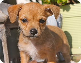 Terrier (Unknown Type, Small)/Poodle (Miniature) Mix Puppy for adoption in Los Angeles, California - Wonder Women