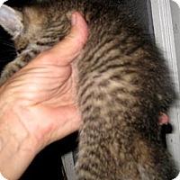 Adopt A Pet :: Lauren - Dallas, TX