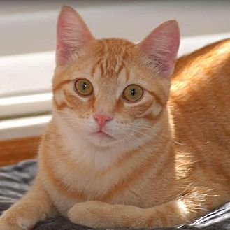 Domestic Shorthair Cat for adoption in Des Moines, Iowa - CURLY