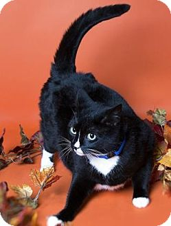 Domestic Shorthair Cat for adoption in Brooklyn, New York - Stacie