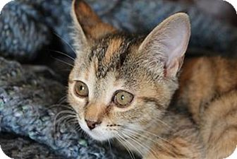 Domestic Shorthair Kitten for adoption in Knoxville, Tennessee - Erin