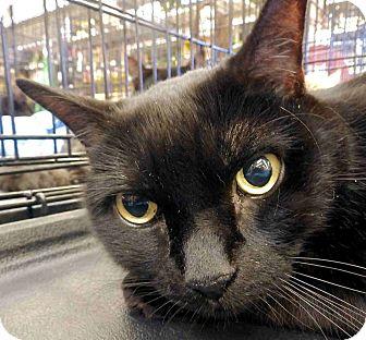 Domestic Shorthair Cat for adoption in Morganton, North Carolina - Bud