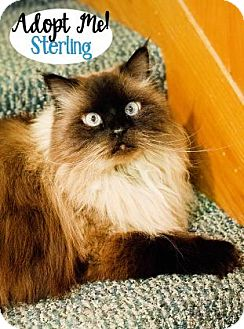 Himalayan Cat for adoption in West Des Moines, Iowa - Sterling