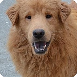 Golden Retriever Mix Dog for adoption in Knoxville, Tennessee - Wilson