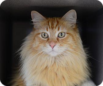 Domestic Longhair Cat for adoption in Gardnerville, Nevada - Pecan