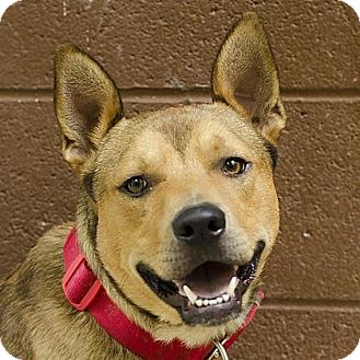 Pit Bull Terrier/Siberian Husky Mix Dog for adoption in Adrian, Michigan - Hydro