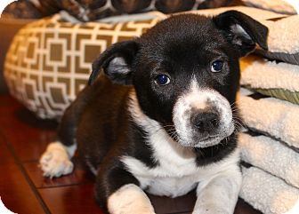 Australian Shepherd/Great Pyrenees Mix Puppy for adoption in Los Angeles, California - Puzzle