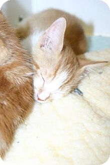 Domestic Shorthair Kitten for adoption in Olympia, Washington - 39685