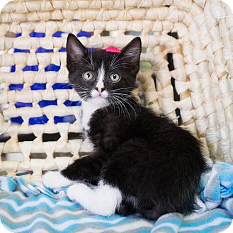 Domestic Shorthair Kitten for adoption in Montclair, California - Bow