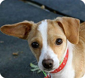 Corgi/Terrier (Unknown Type, Small) Mix Dog for adoption in Winters, California - Stella
