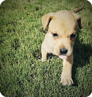 Border Collie Mix Puppy for adoption in Allen, Texas - Carmello