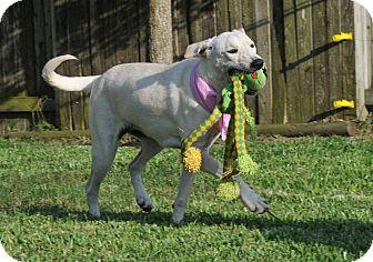 German Shepherd Dog/Greyhound Mix Dog for adoption in Seattle, Washington - Darby