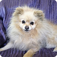 Adopt A Pet :: Zedd - Canyon Country, CA