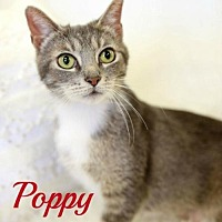 Adopt A Pet :: Poppy Female - Knoxville, TN
