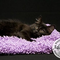 American Shorthair Cat for adoption in Lake City, Michigan - Kitty 9