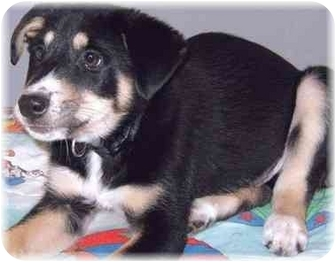 Shepherd (Unknown Type)/Hound (Unknown Type) Mix Puppy for adoption in Grass Valley, California - Roy