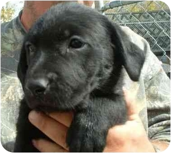 Labrador Retriever Mix Puppy for adoption in Makinen, Minnesota - Blackberry