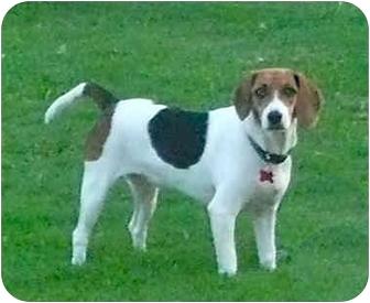 Beagle Dog for adoption in Palm Bay, Florida - Josie