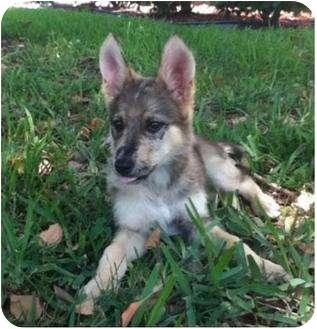Australian Shepherd/German Shepherd Dog Mix Puppy for adoption in Largo, Florida - Jacalyn - German/Aussie Mix