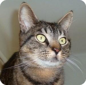 Domestic Shorthair Cat for adoption in Carmel, New York - Rocco