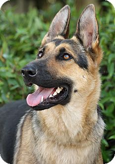 German Shepherd Dog Dog for adoption in Los Angeles, California - Natasha von Naila