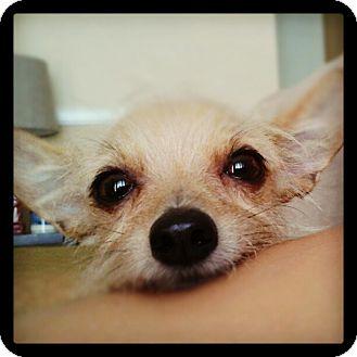 Brussels Griffon/Italian Greyhound Mix Puppy for adoption in Anaheim, California - Scout