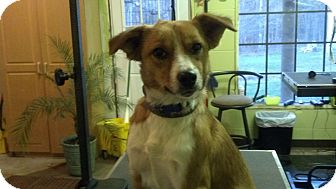 Sheltie, Shetland Sheepdog Mix Dog for adoption in Portland, Maine - Bella (Reduced to $300)