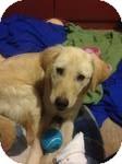 Corgi/Labrador Retriever Mix Dog for adoption in East Hartford, Connecticut - Star ADOPTION PENDING